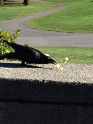 Thinking Crow 1