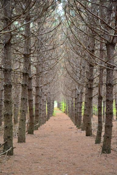 Pine Forest walkway